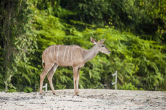 Antelope in captivity Stock Images