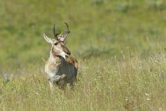 Antelope chews on grass. Stock Photos