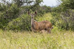 Antelope with child inside Kruger Park Royalty Free Stock Photos