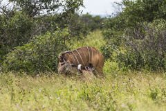 Antelope with child inside Kruger Park Stock Photos