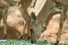 Antelope. Close up eating, Summer 2015 Stock Image