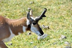 Portrait of a Antelope, or Pronghorn stock photography