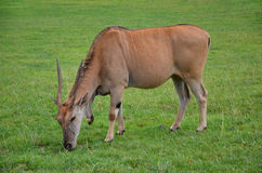 Antelope closeup. Antelope grazing on green meadow, side view Royalty Free Stock Photography