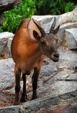 Antelope. Cloven-hoofed animal, a resident of the zoo. Very sad look in his Royalty Free Stock Photo