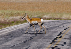 Antelope crossing the road Stock Images