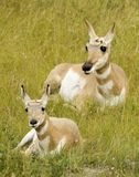 Antelope cub with Mother. Laying on grass stock images