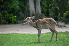 Antelope deer eating on the grass Stock Images