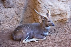 Antelope or deer lying in the sun in a zoo Stock Photo