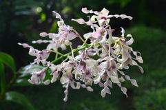Antelope Dendrobium Orchid Royalty Free Stock Photos