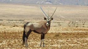 Antelope in desert Royalty Free Stock Photo