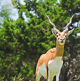 Antelope. This antelope displays his spiral horns as he stands atop the hillside watching the herd stock photos