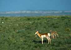 Antelope Doe and Twin Fawns on Prairie Royalty Free Stock Image