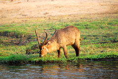 Antelope drinking. A big african antelope drinking at the river bank Stock Photo