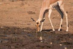 Antelope drinking Stock Photos