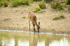 Antelope drinks water from the river Stock Photos