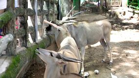 Antelope are eating grass from visitors in the zoo.