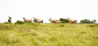 Antelope eland Stock Photo