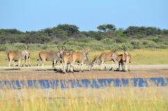 Antelope eland Stock Images