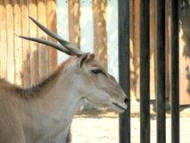 Antelope Eland head. Picture taken at the zoo of Bucharest, Romania Stock Images