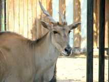 Antelope Eland head. Picture taken at the zoo of Bucharest, Romania Royalty Free Stock Images