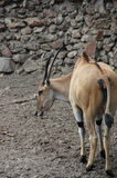 Antelope Eland Royalty Free Stock Images