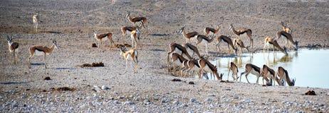 Antelope in Etosha National Park. Etosha National Park is a national park in northwestern Namibia Royalty Free Stock Image