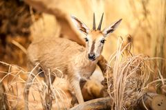 Antelope Royalty Free Stock Image