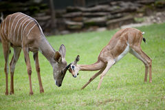 Antelope family. Royalty Free Stock Photo