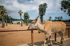 Antelope in Fasano apulia safari zoo Italy stock photography