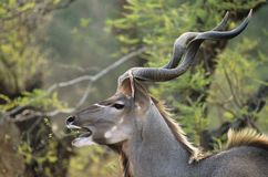 Antelope feeding from trees Royalty Free Stock Photography