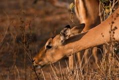 Antelope feeding Stock Photos