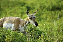 Antelope. A female Antelope walking through the vegetation Royalty Free Stock Photos
