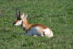 Antelope in a Field. Antelope laying in a field of grass Royalty Free Stock Photos