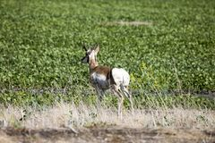 Antelope in Field. Pronghorn prairie Saskatchewan Canada Royalty Free Stock Photo