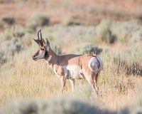 Antelope in a field royalty free stock image