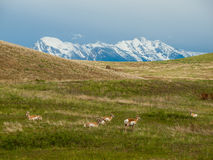 Antelope in a Field with Snowcapped Mountains Stock Photos