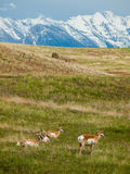 Antelope in a Field with Snowcapped Mountains Stock Image