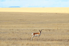 Antelope in a field Royalty Free Stock Photography