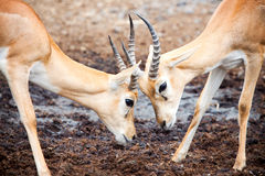 Antelope Fighting. Antelope face to face in trickily fighting Royalty Free Stock Photo