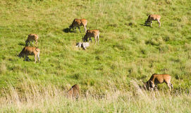 Antelope Flock Stock Photography