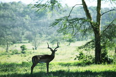 Antelope in forest Stock Photo
