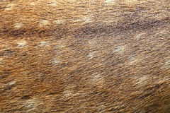 Antelope fur. Rear into the background Royalty Free Stock Photo