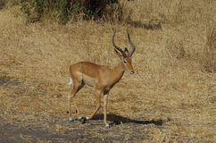 An antelope or gazelle in Africa Royalty Free Stock Photos
