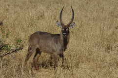 An antelope or gazelle in Africa Royalty Free Stock Photography