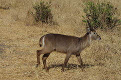 An antelope or gazelle in Africa Stock Photo