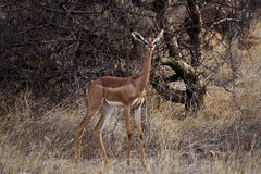 Antelope Gerenuk  (Litocranus Walleri) Royalty Free Stock Photo