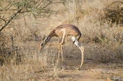 Antelope giraffe Royalty Free Stock Photos