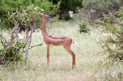 Antelope giraffe isolated Stock Photos