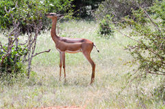 Antelope giraffe  Stock Image