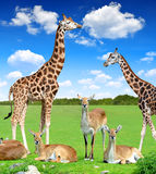 Antelope with giraffes Stock Photography